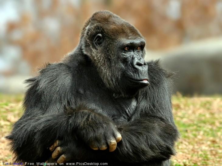 Gorila con sus brazos cruzados