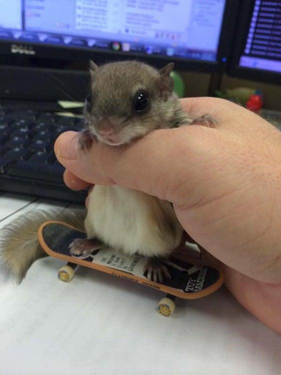 una pequeña ardilla sobre una patineta de juguete