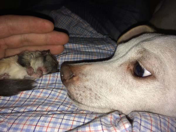 perro huele a Ardilla voladora