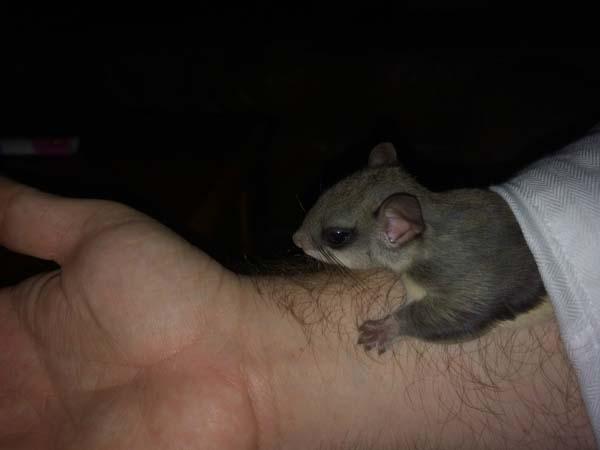 Ardilla voladora en el brazo