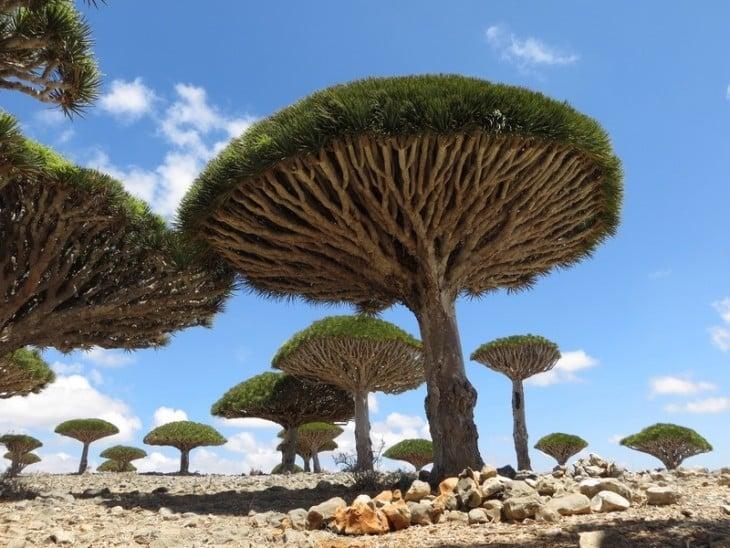 árbol sandre de dragones, Yemen