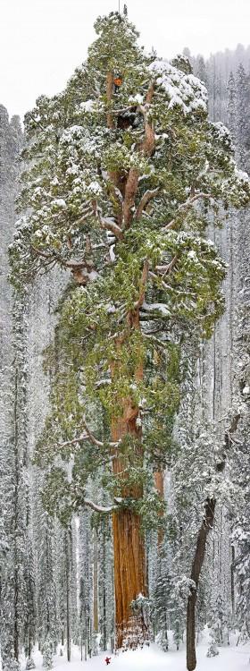 tercera secoya del mundo mas grande se encuentra en california