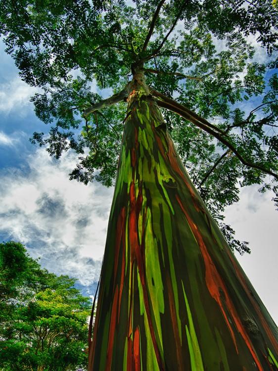 arboles de eucalipto con el tronco como arcoiris