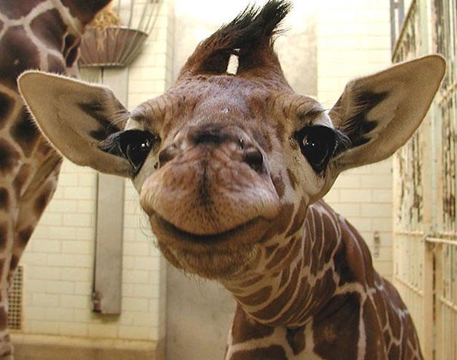 jirafa muy chistosa