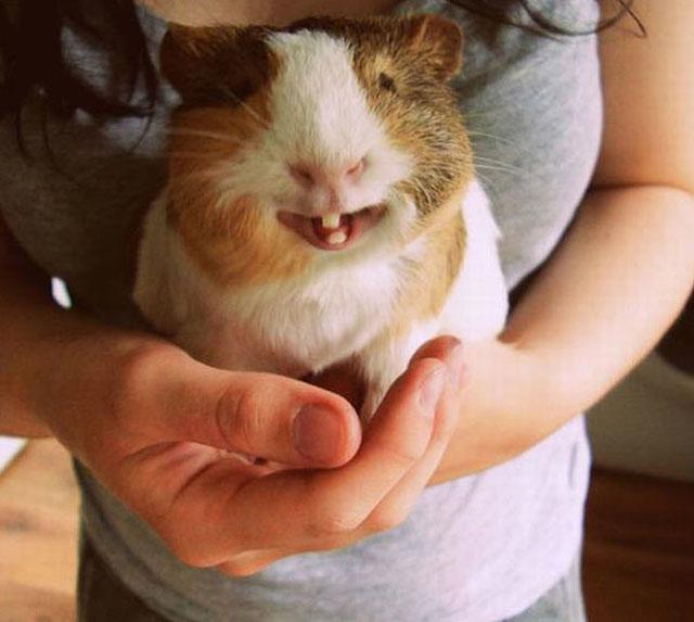 enorme hamster en las manos de su amo