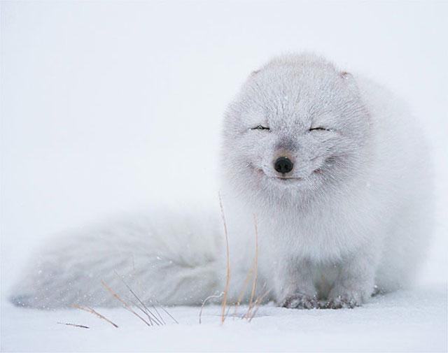 zorro blanco que parece que se rie