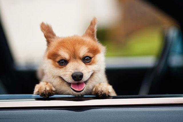 perro en un auto con una sonrisa