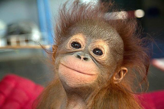orangután con una sonrisa