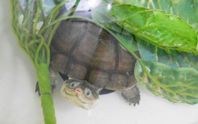 una tortuga que parece que se rie