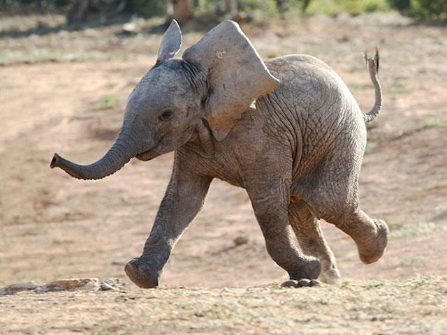 elefante que corre y rie