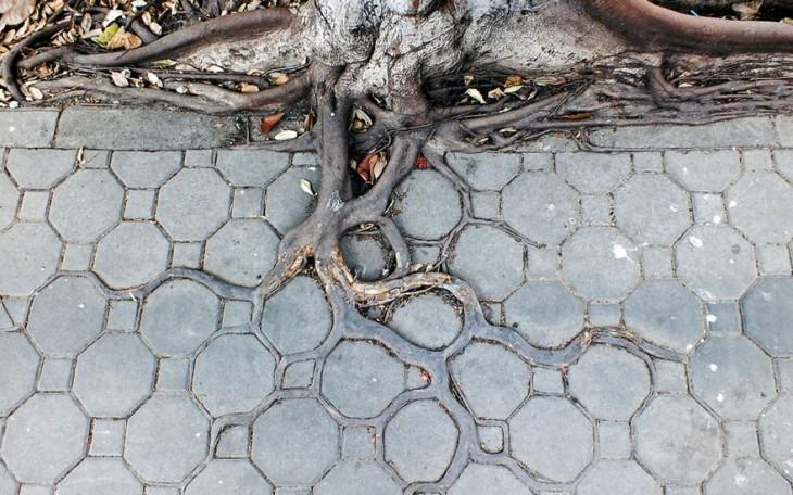 raíces de arboles con patrones en la vereda
