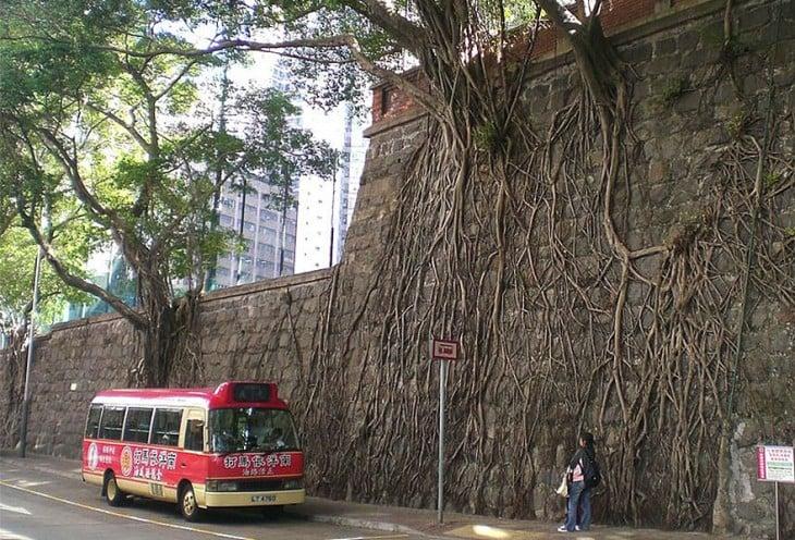 raíces de árbol en un muro