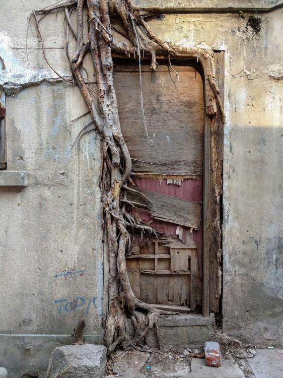 raíces de un árbol en la puerta