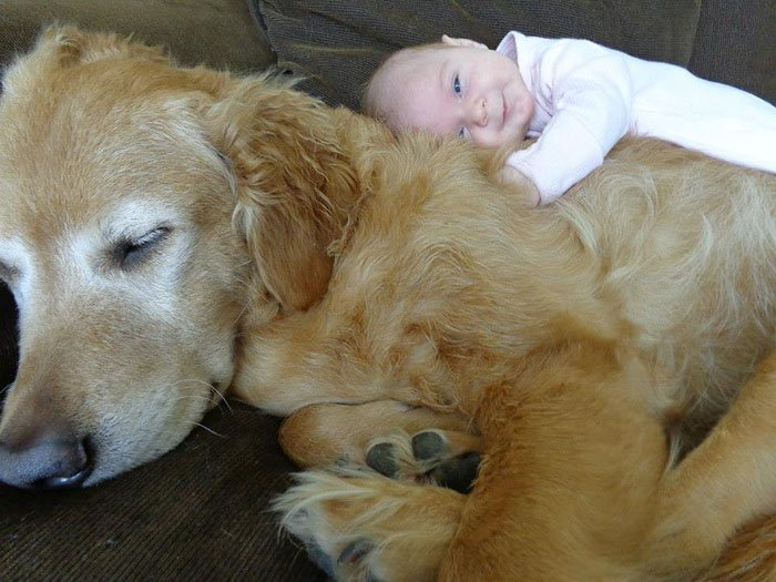 golden retriever y bebe