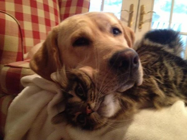 labrador y gato de almohada