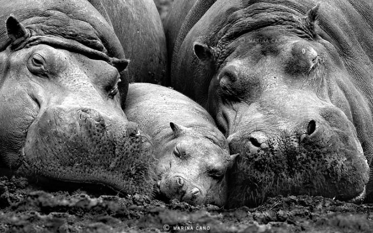 familia de hipopotamos