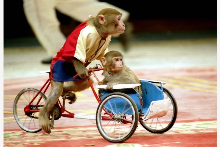 monos andando en bicicleta