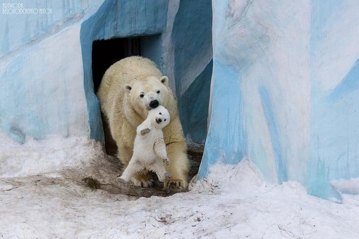madre osa polar con su bebé en la boca