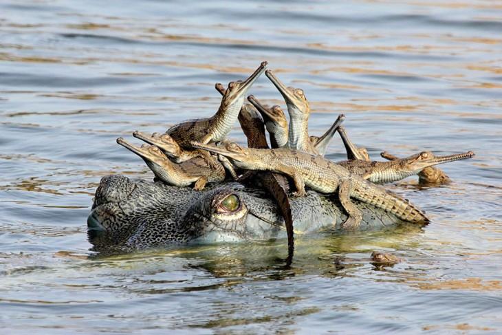 gavial con sus hijos en la cabeza