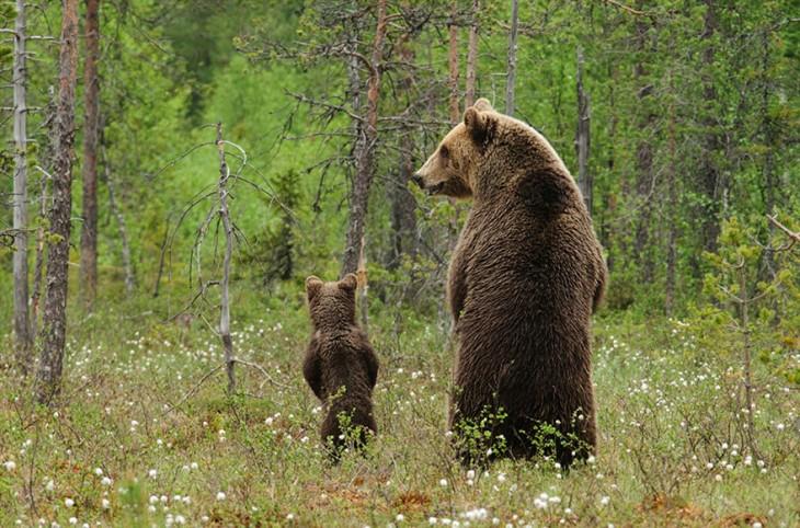 oso pardo con osezno