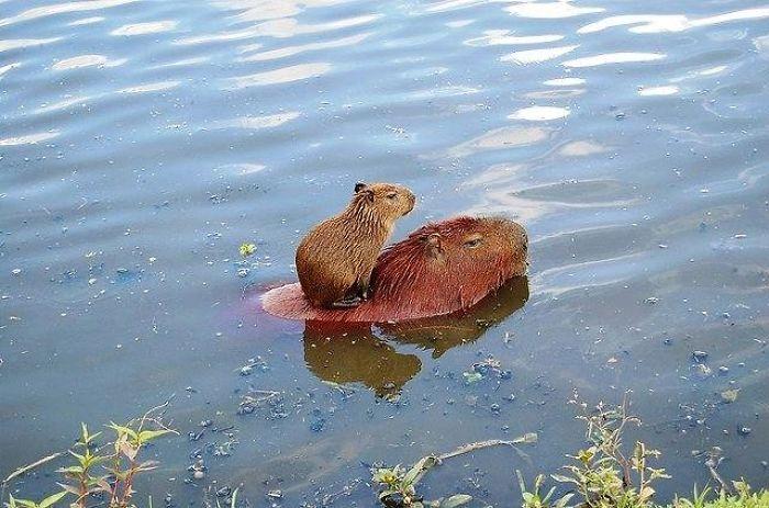 Carpincho con su cria nadando