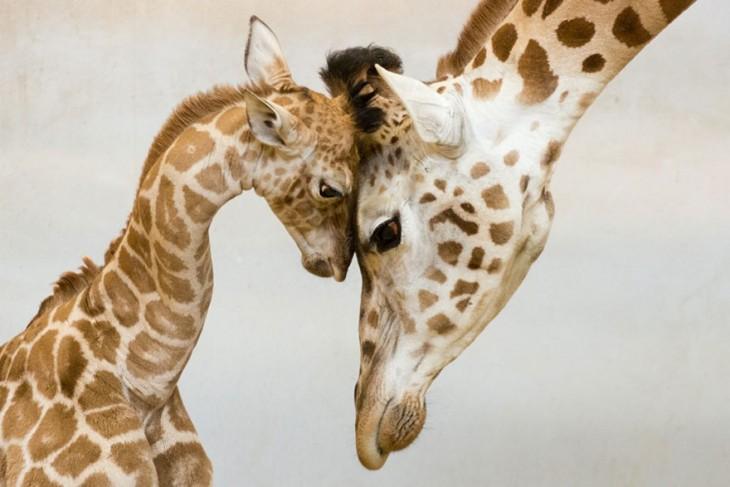 madre con su hija jirafa