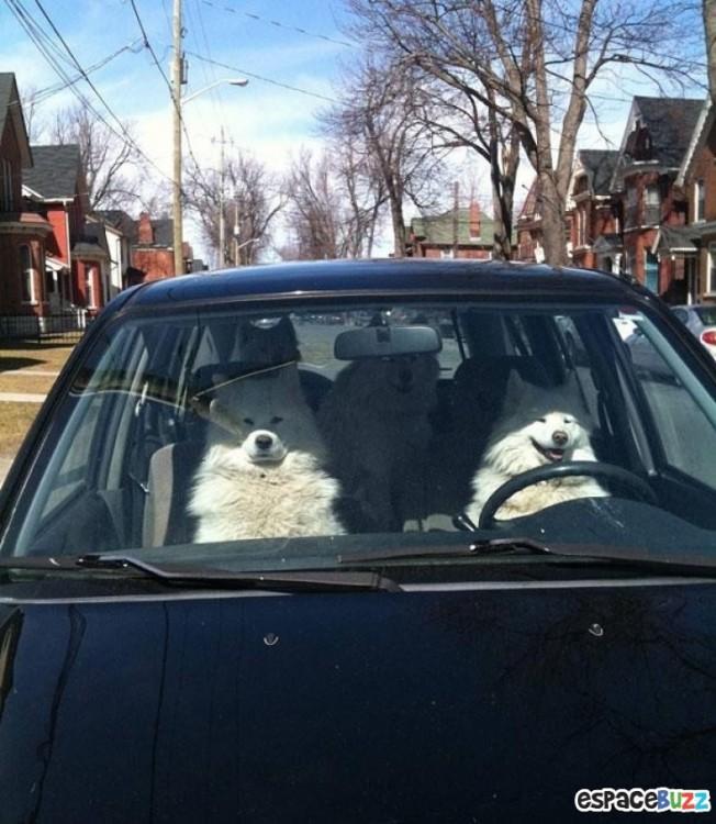perros blancos en auto