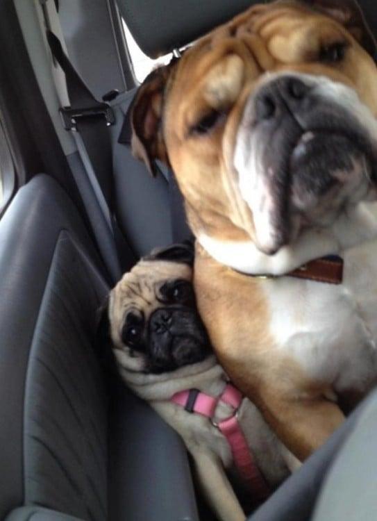 pug y bulldog