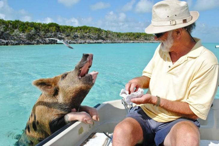 playa pig bahamas 2