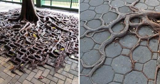 arboles y sus raices creciendo en el pavimento