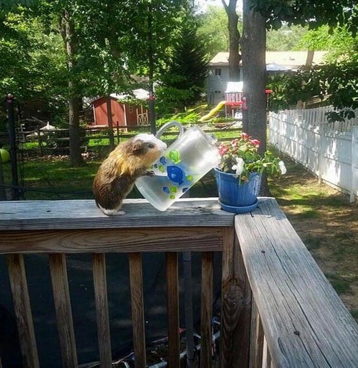roedor regando plantas se comporta como humano