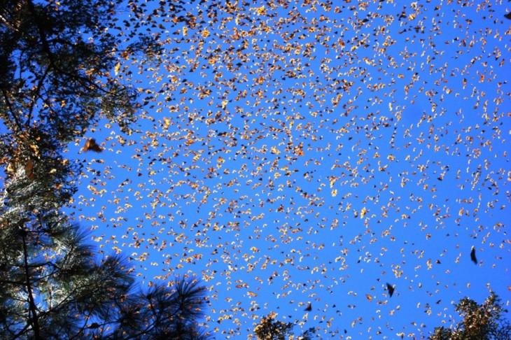 migración de mariposas