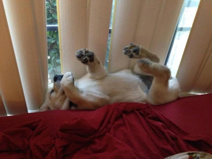 perro que se quedo dormido con las patas para arriba