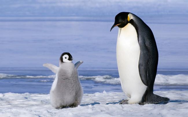 pingüinos obesos