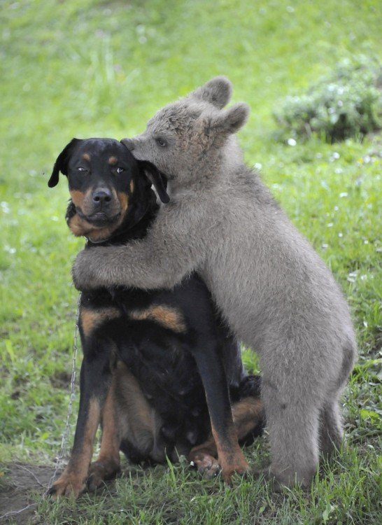 Brown bear cub Medo plays with the Logar family dog in Podvrh village, central Slovenia