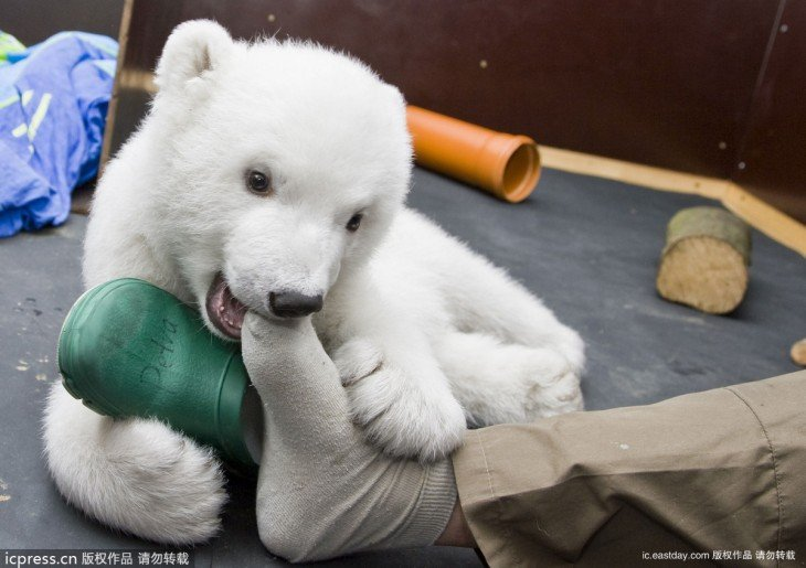 GERMANY-ANIMALS-POLAR-BEAR-FLOCKE