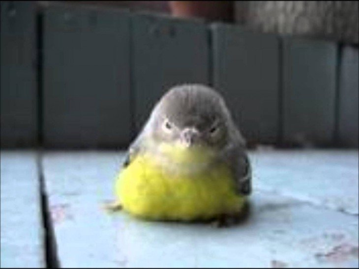 pajaro real se parece a angry birds