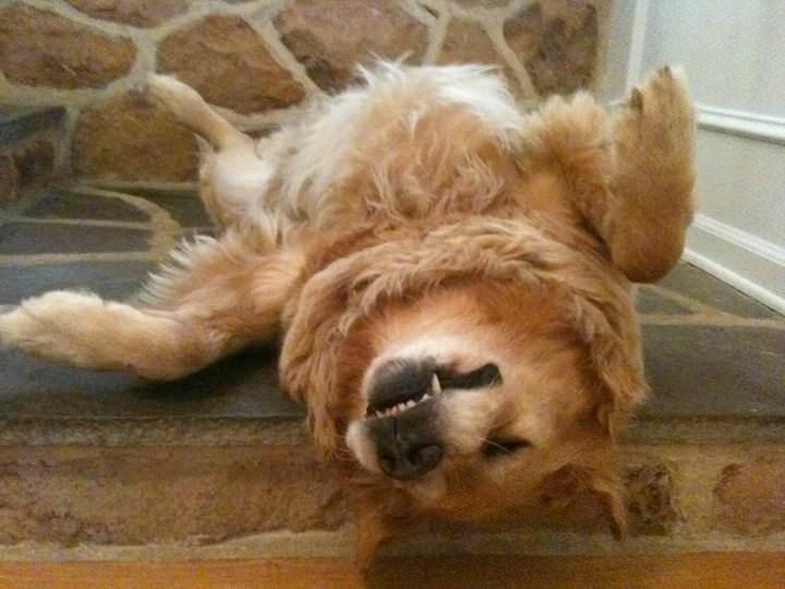 perro golden dormido en las escaleras