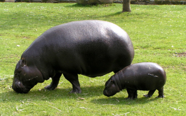 hipopotamos obesos