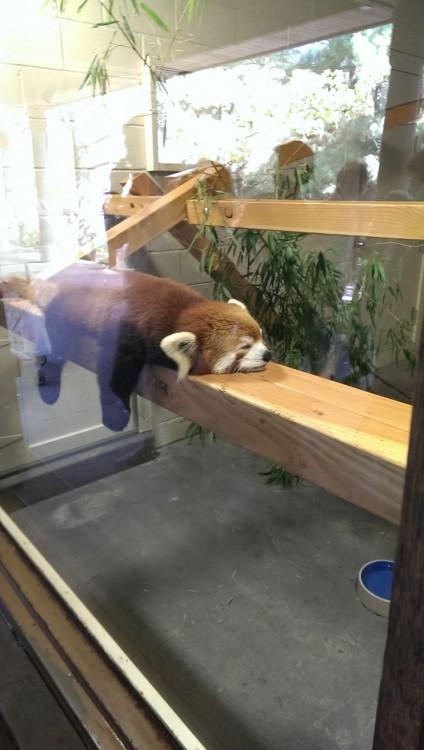 mapache dormido en una tabla