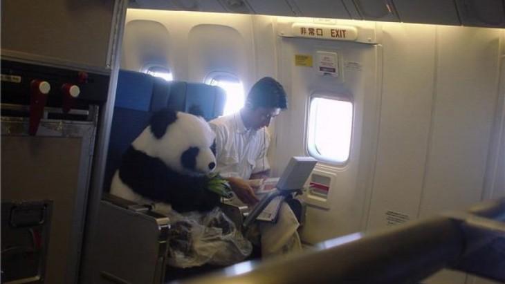 Osos panda viajando en avión