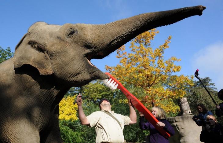 Persona lavando los dientes a un elefante