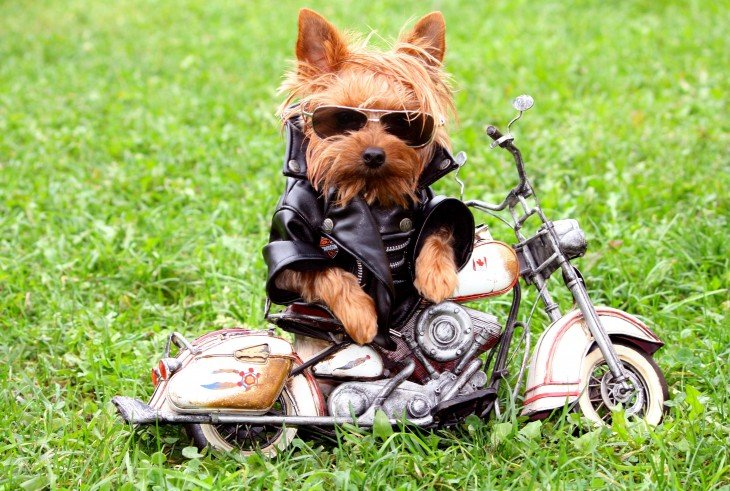 Pequeño perrito con chamarra de piel negra con una pequeña moto