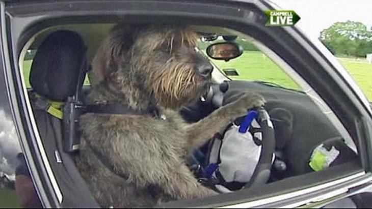 Perro agarrando un volante simulando que va manejando un coche