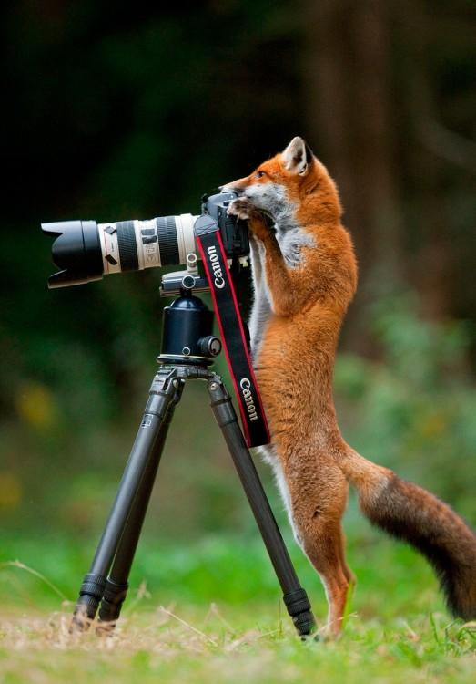 Zorro tomando una fotografía