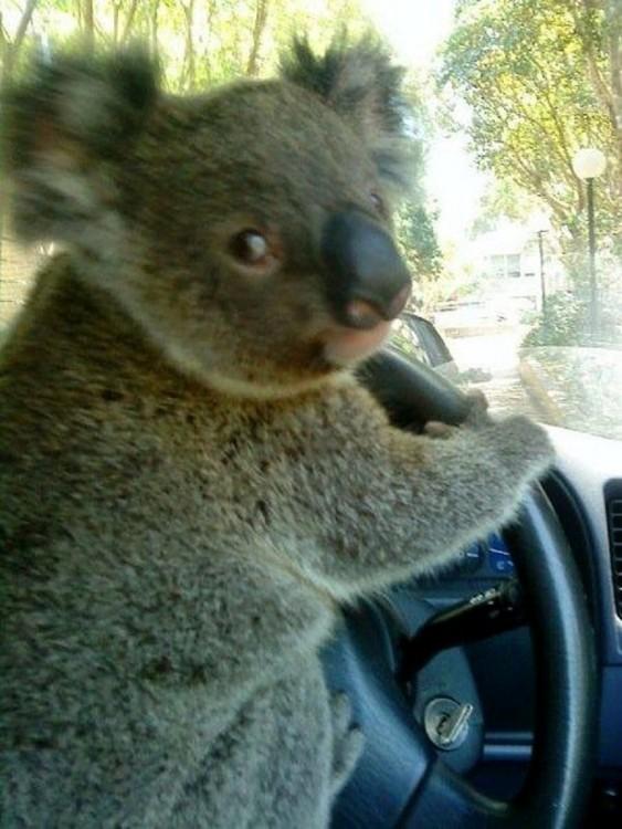 Koala sosteniendo un volante y simulando que esta conduciendo