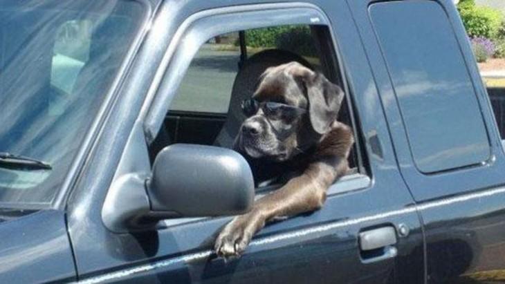Perro arriba de una camioneta simulando que va manejando