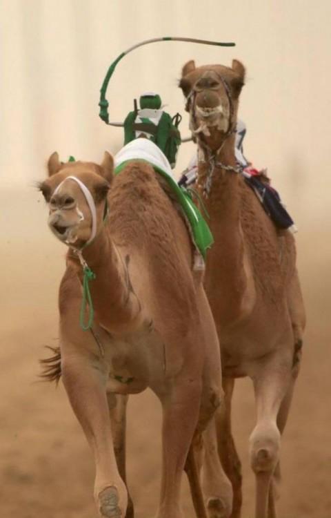 Camellos corriendo en Dubai