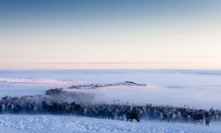 fila de renos caminando hacia el polo norte