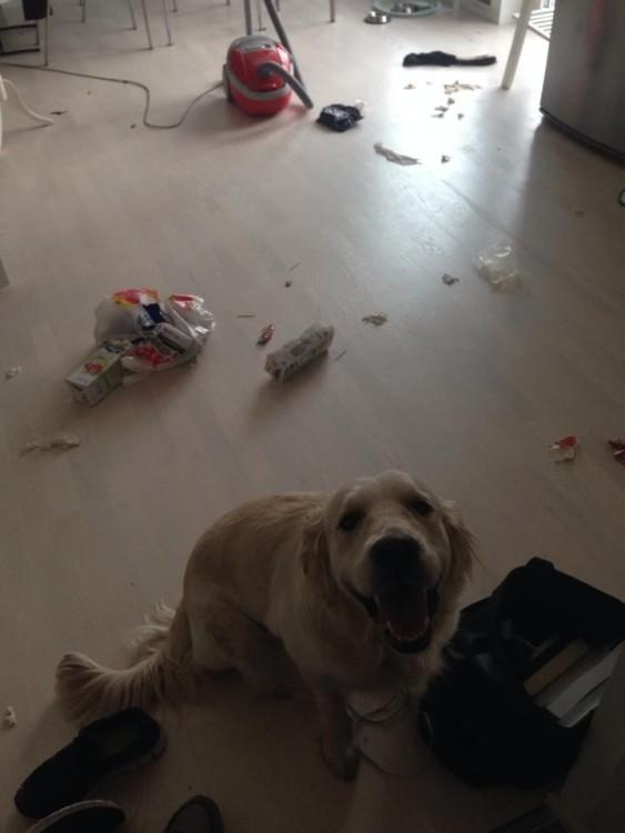 Perro golden mirando hacia arriba con la basura tirada en el suelo